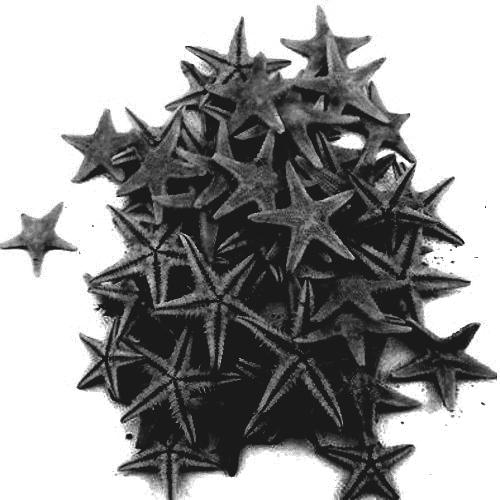 Black Natural Starfish 1-2cm 100pcs