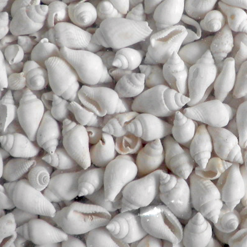 White Seashell Nassa 1Kg